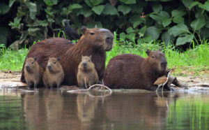 Capybara Family by Peg Abbott