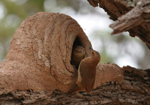 Rufous Hornero Nest Pair by Peg Abbott