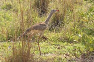 Red-legged Seriema, Naturalist Journeys Stock