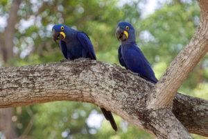 Hyacinth Macaws, Naturalist Journeys Stock