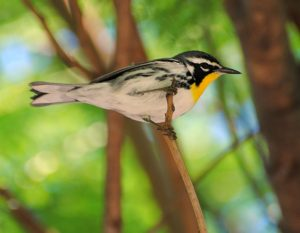 South Florida's Caribbean Birds