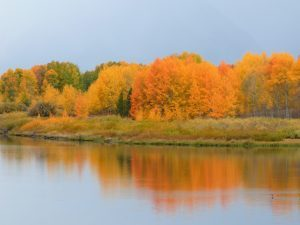 Fall is golden in greater Yellowstone