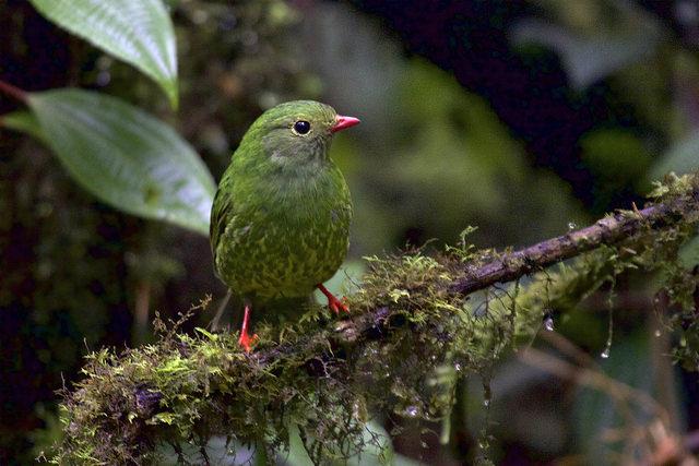 Birding the New World Tropics
