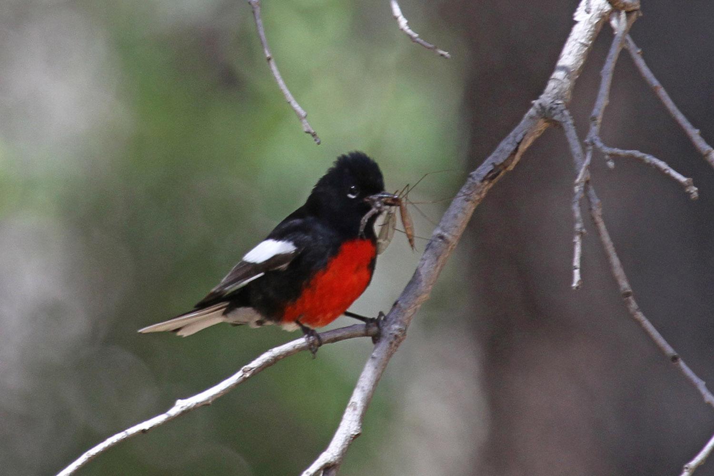 Arizona's Signature Birds