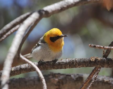Arizona's Specialty Birds