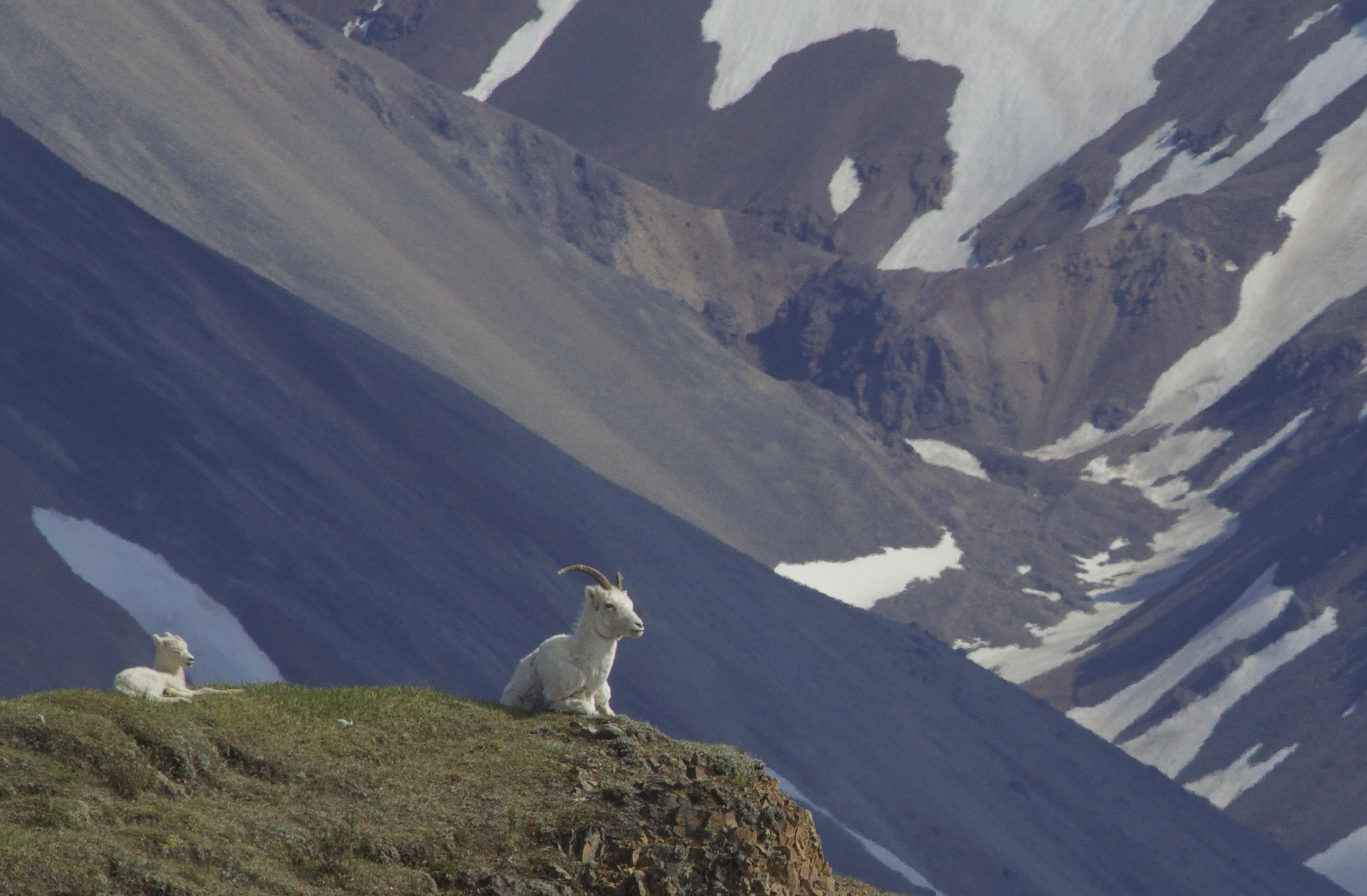 Alaskan Mammals