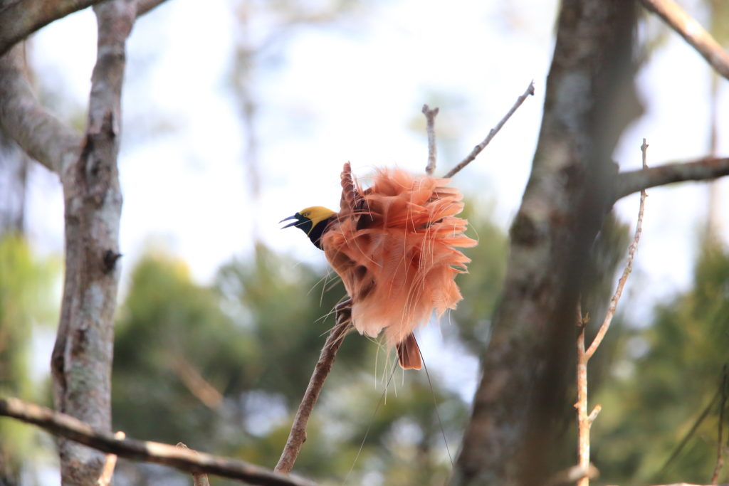 Papua New Guinea Birding Tour