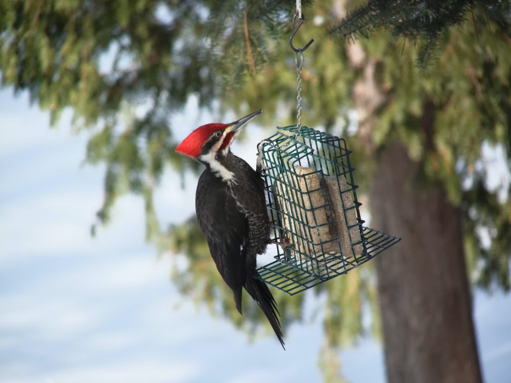 Pileated Woodpecker, Spark Bird, Naturalist Journeys