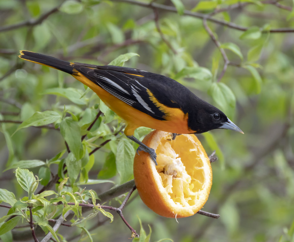 Baltimore Oriole, Spark Bird, Naturalist Journeys