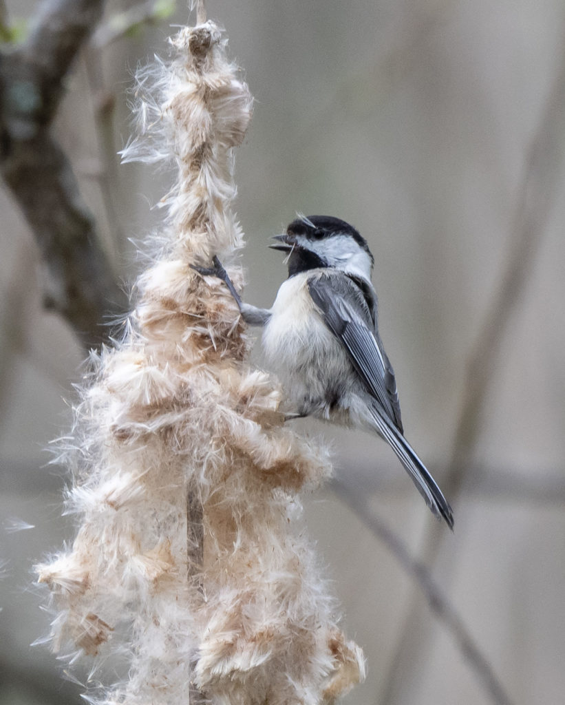 Black-capped Chickadee, Spark Bird, Naturalist Journeys