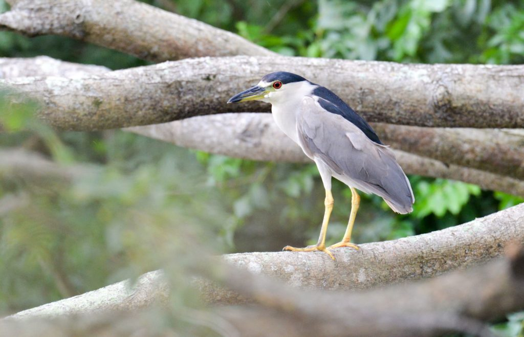 Black-crowned Night-Heron, Spark Bird, Naturalist Journeys