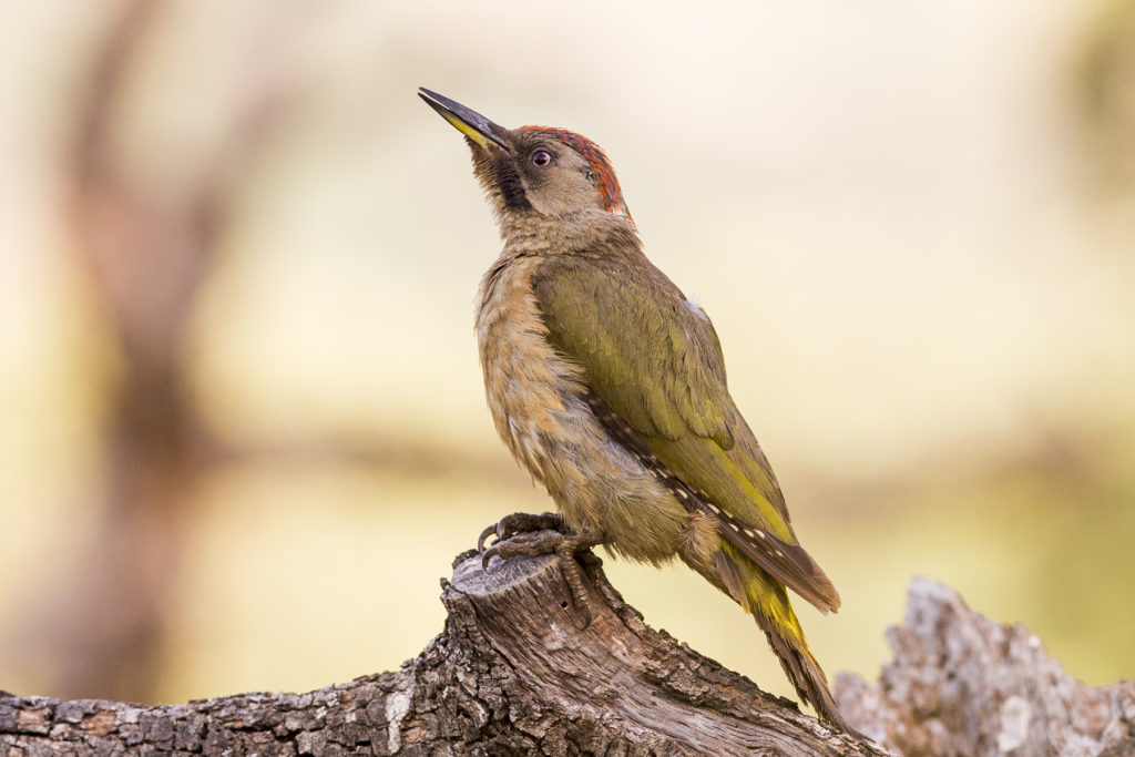 Green Woodpecker, Spark Bird, Naturalist Journeys