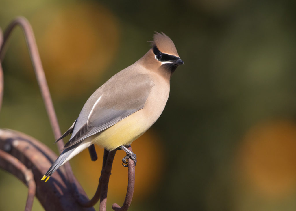 Spark Bird, Naturalist Journeys, Cedar Waxwing