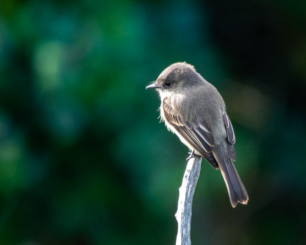 Eastern Phoebe, Spark Bird, Naturalist Journeys