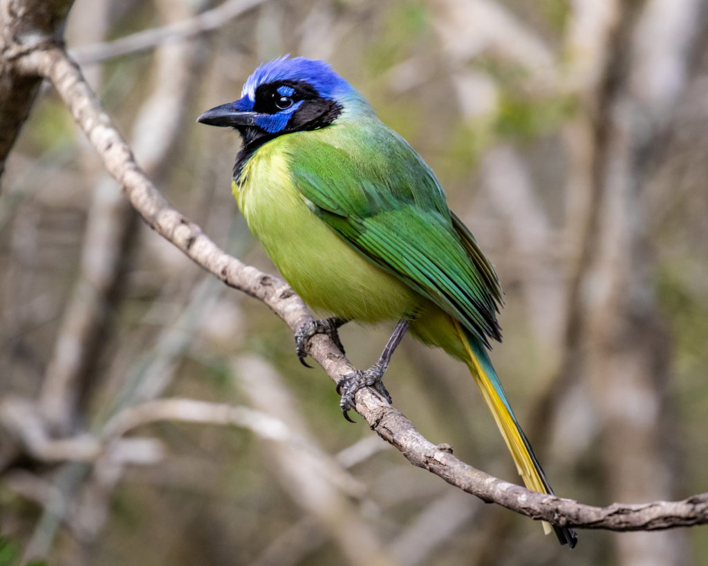 Green Jay by Delsa Anderl
