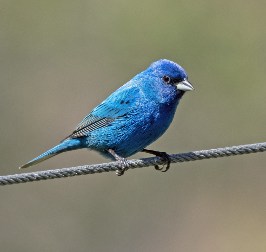 Indigo Bunting, spark bird, Naturalist Journeys