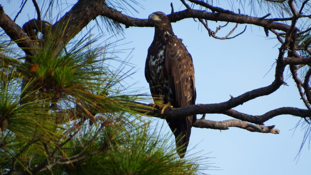 Immature Bald Eagle, Spark Bird, Naturalist Journeys