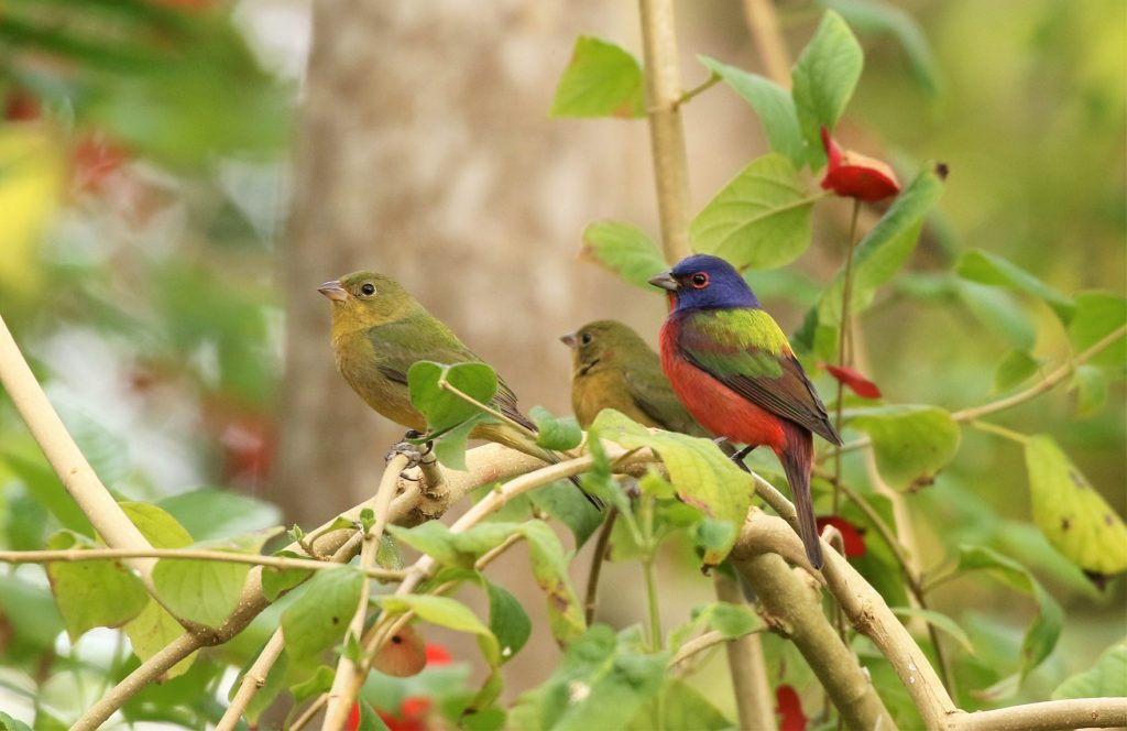 Painted Bunting by Carlos J Sanchez