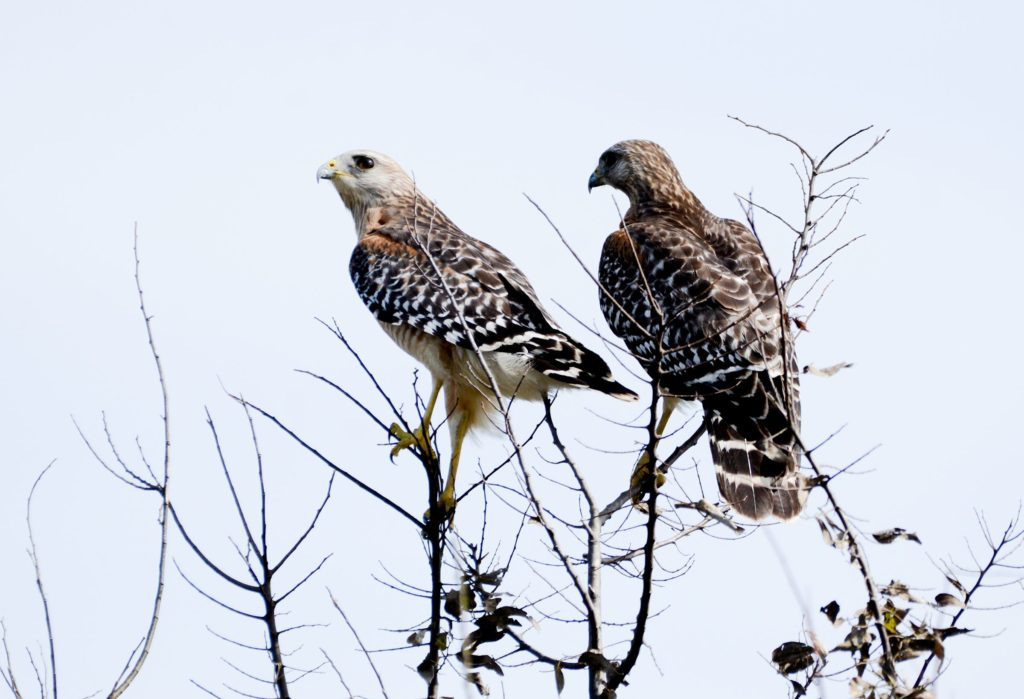 Red-shouldered Hawk, Spark Bird, Naturalist Journeys