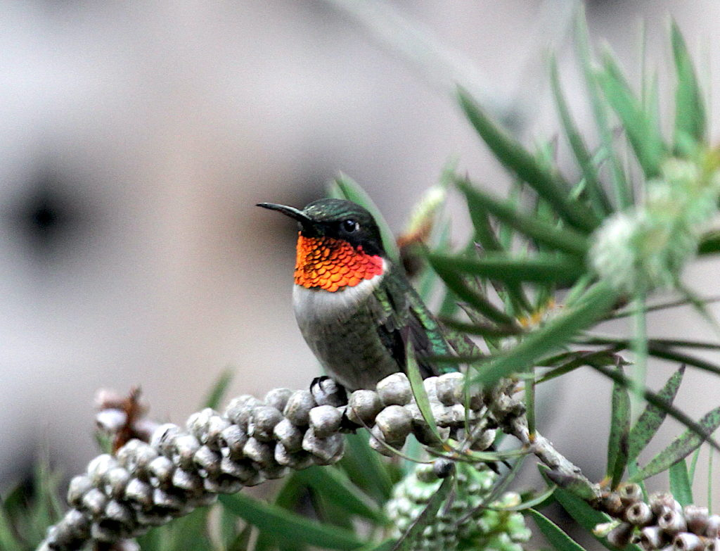 Ruby-throated Hummingbird, Spark Bird, Naturalist Journeys
