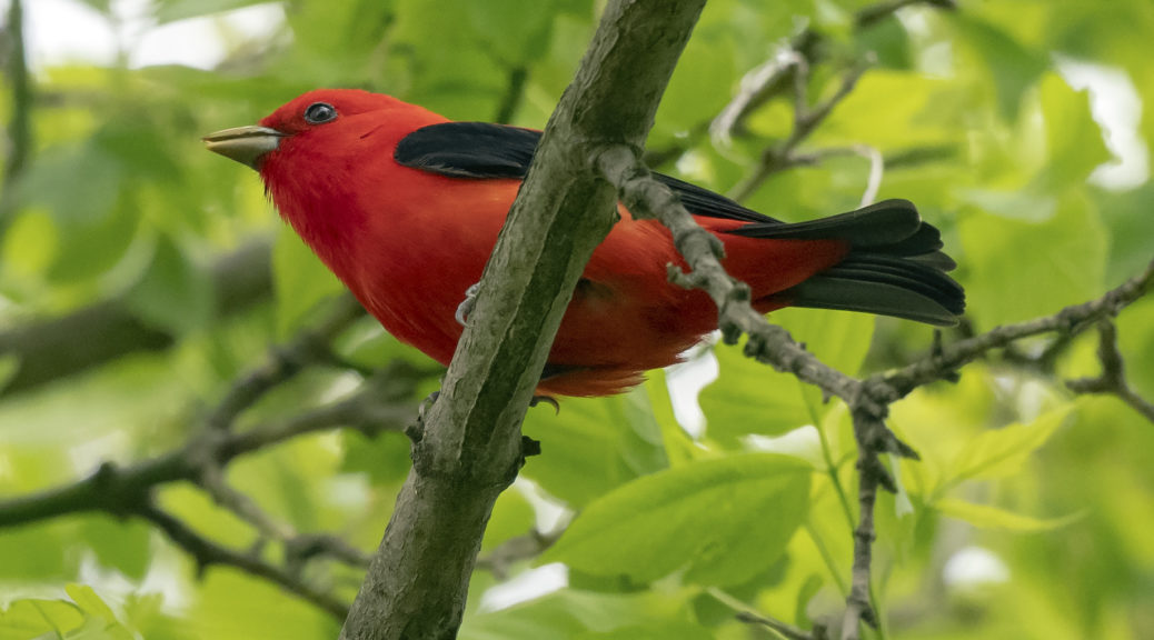 spark bird, Naturalist Journeys, Scarlet Tanager