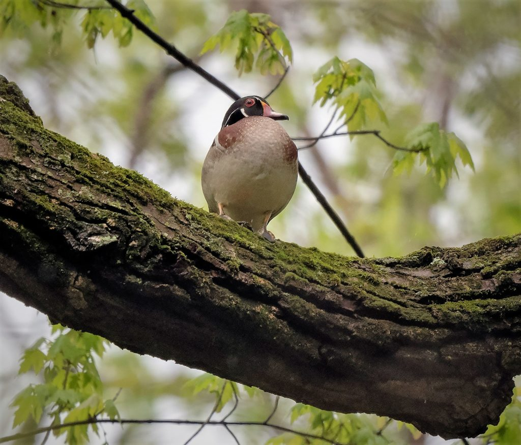 Wood Duck, Spark Bird, Naturalist Journeys
