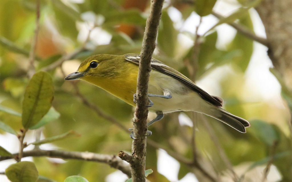 Yellow-throated Vireo, Spark Bird, Naturalist Journeys