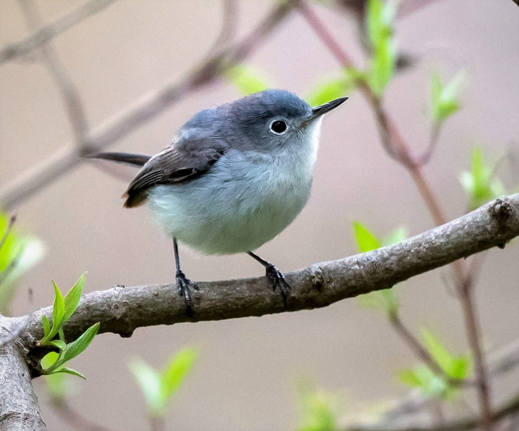 Blue-gray Gnatcatcher, Spark Bird, Naturalist Journeys
