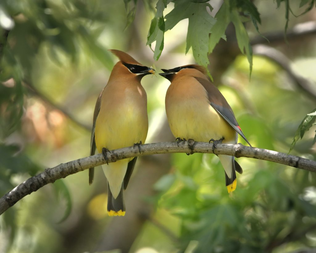 Cedar Waxwing, Spark Bird, Naturalist Journeys