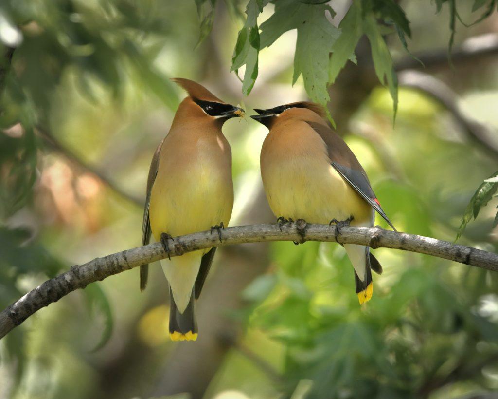 Cedar Waxwing, Spark Bird, Naturalist Journeys