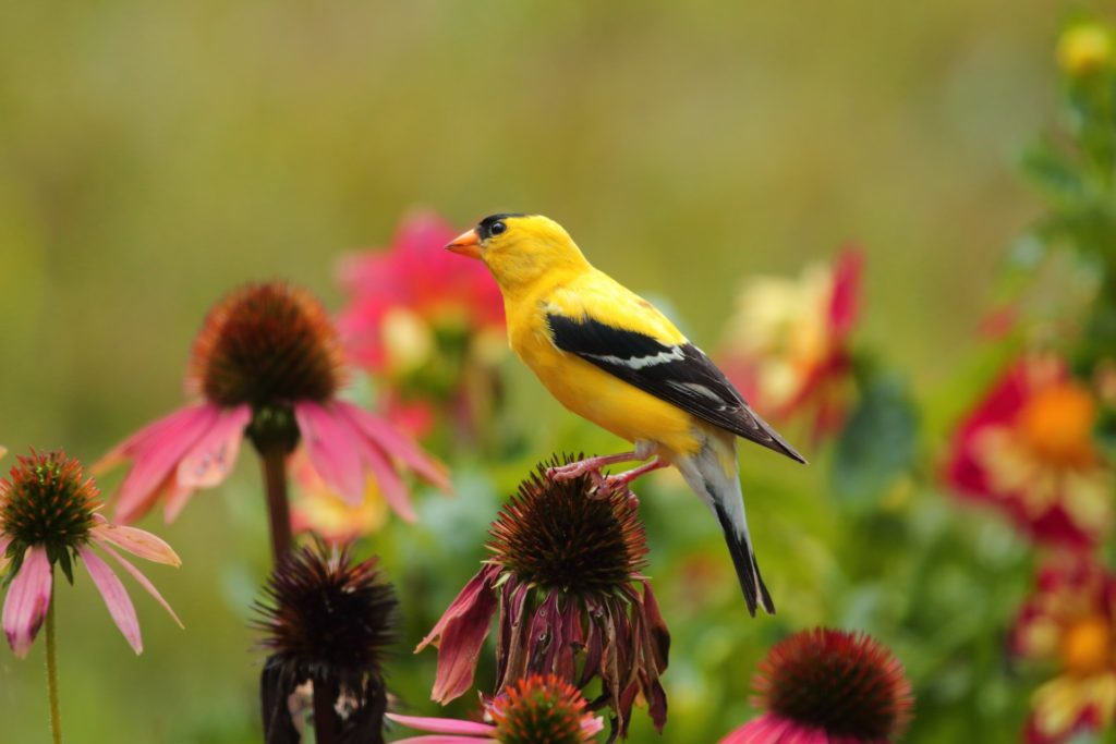 American Goldfinch, Spark Bird, Naturalist Journeys