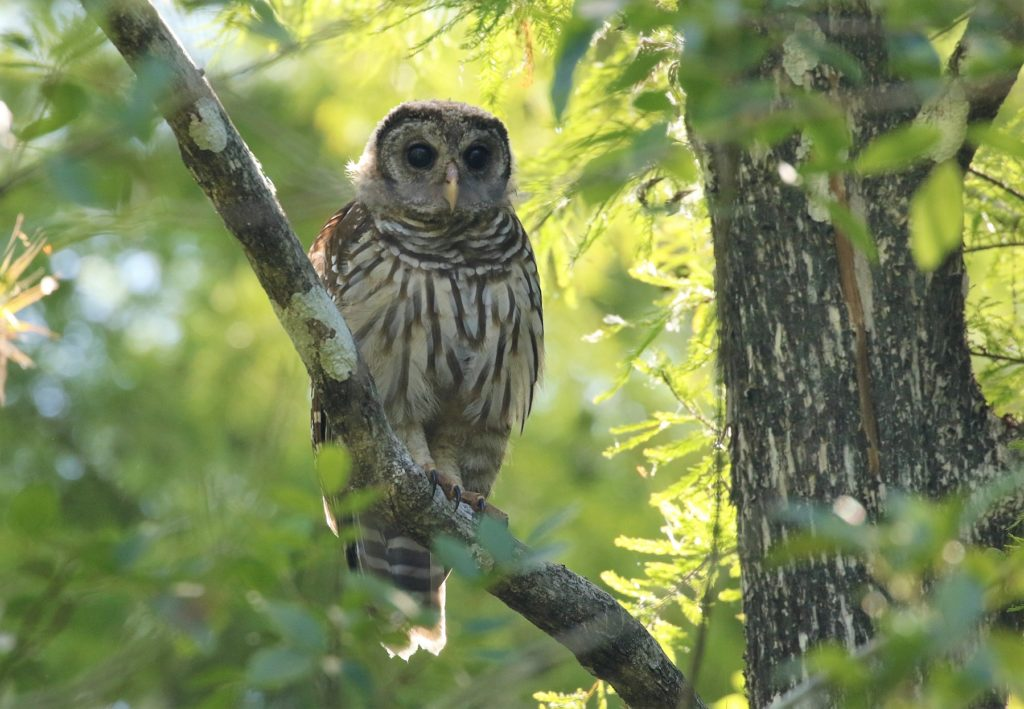 Barred Owl by Carlos Sanchez