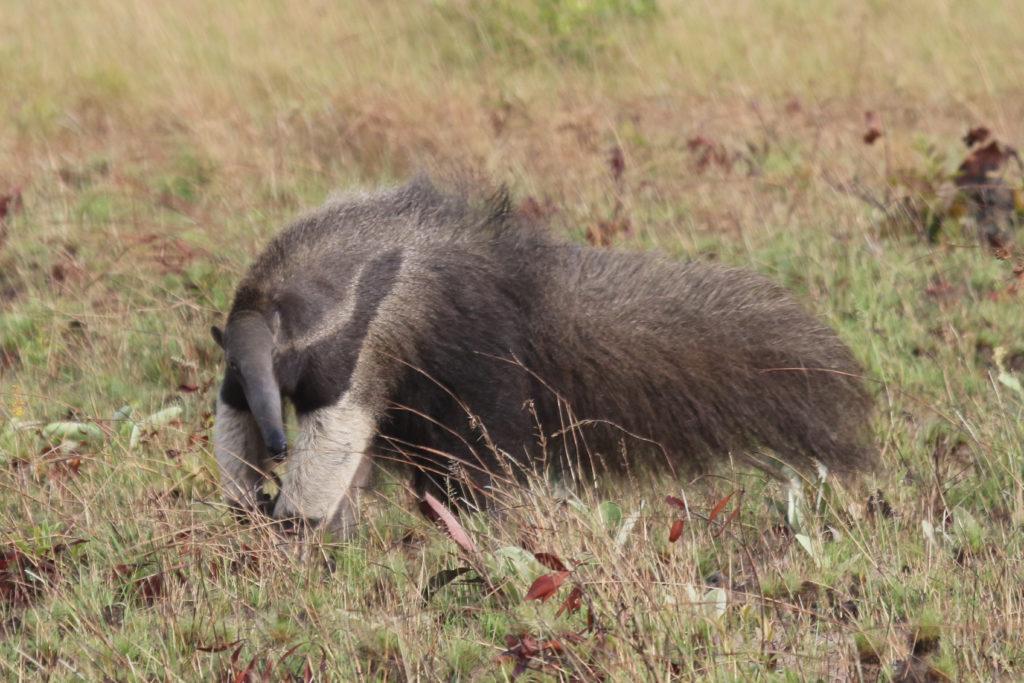 Giant Anteater Pantanal