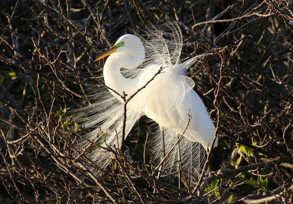 Great Egret by Carlos Sanchez
