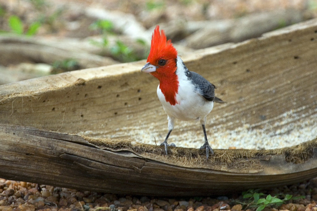 Red-crested Cardinal Pantanal