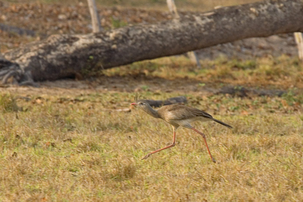 Red-legged Seriema Pantanal