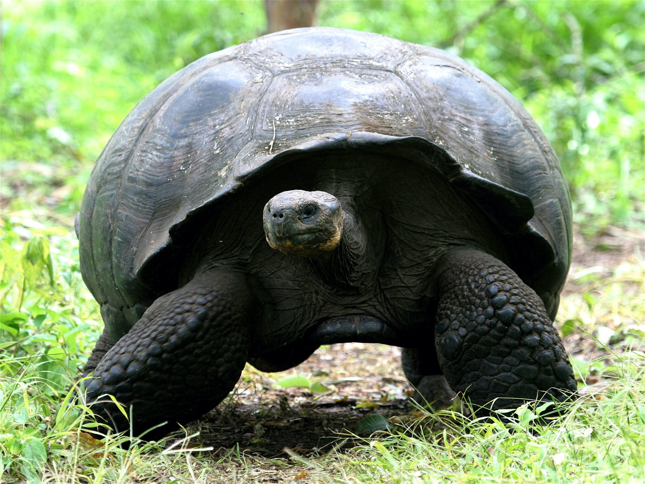 See Giant Tortoise on one of Naturalist Journeys' vaccinated cruises to the Galapagos Islands