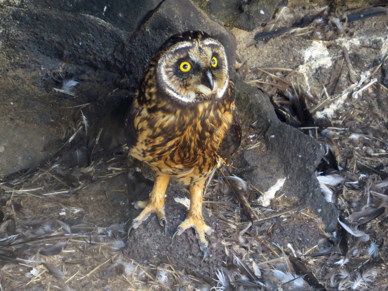 vaccinated cruises to the Galapagos yield views like this short-eared owl by Howard Topoff