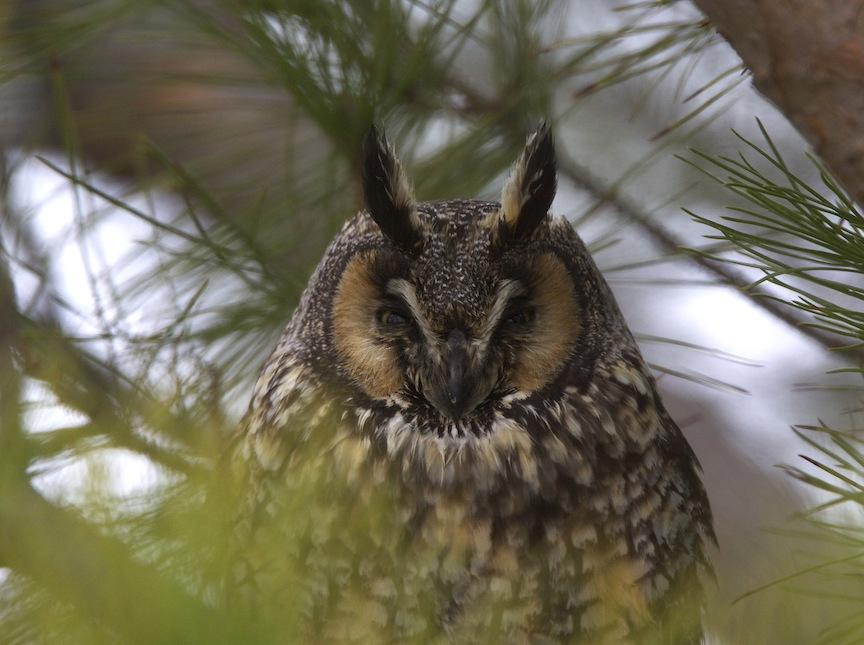 US travel to California may turn up a Long-eared Owl.