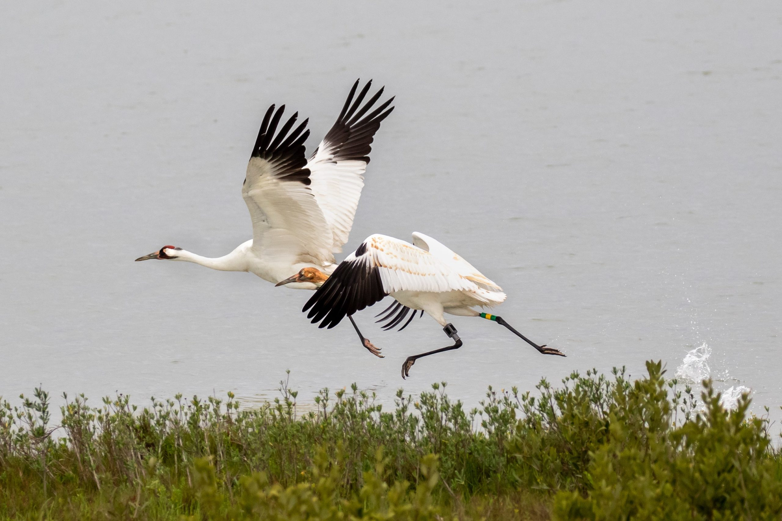 US Travel to South Texas may turn up whooping cranes in November.