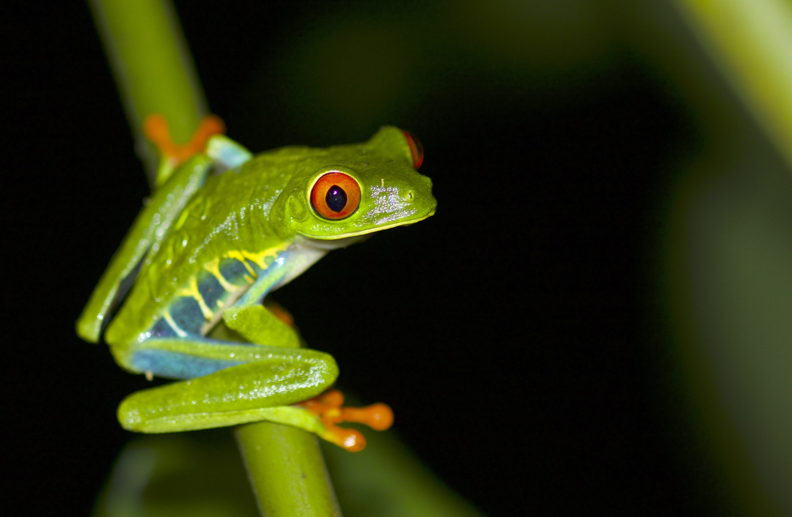 Costa Rica tourism brings you close to a Red-Eyed Tree Frog