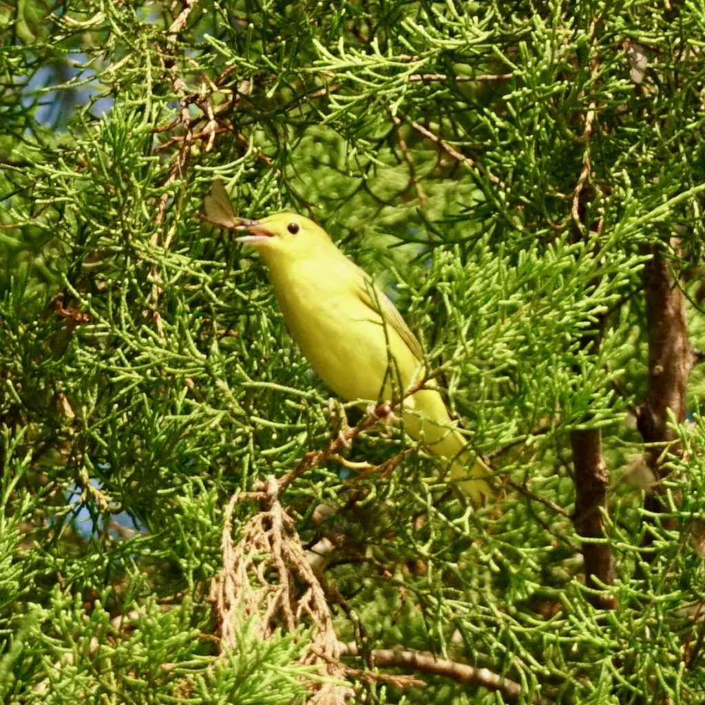 Yellow Warblers benefit from wildlife conservation efforts