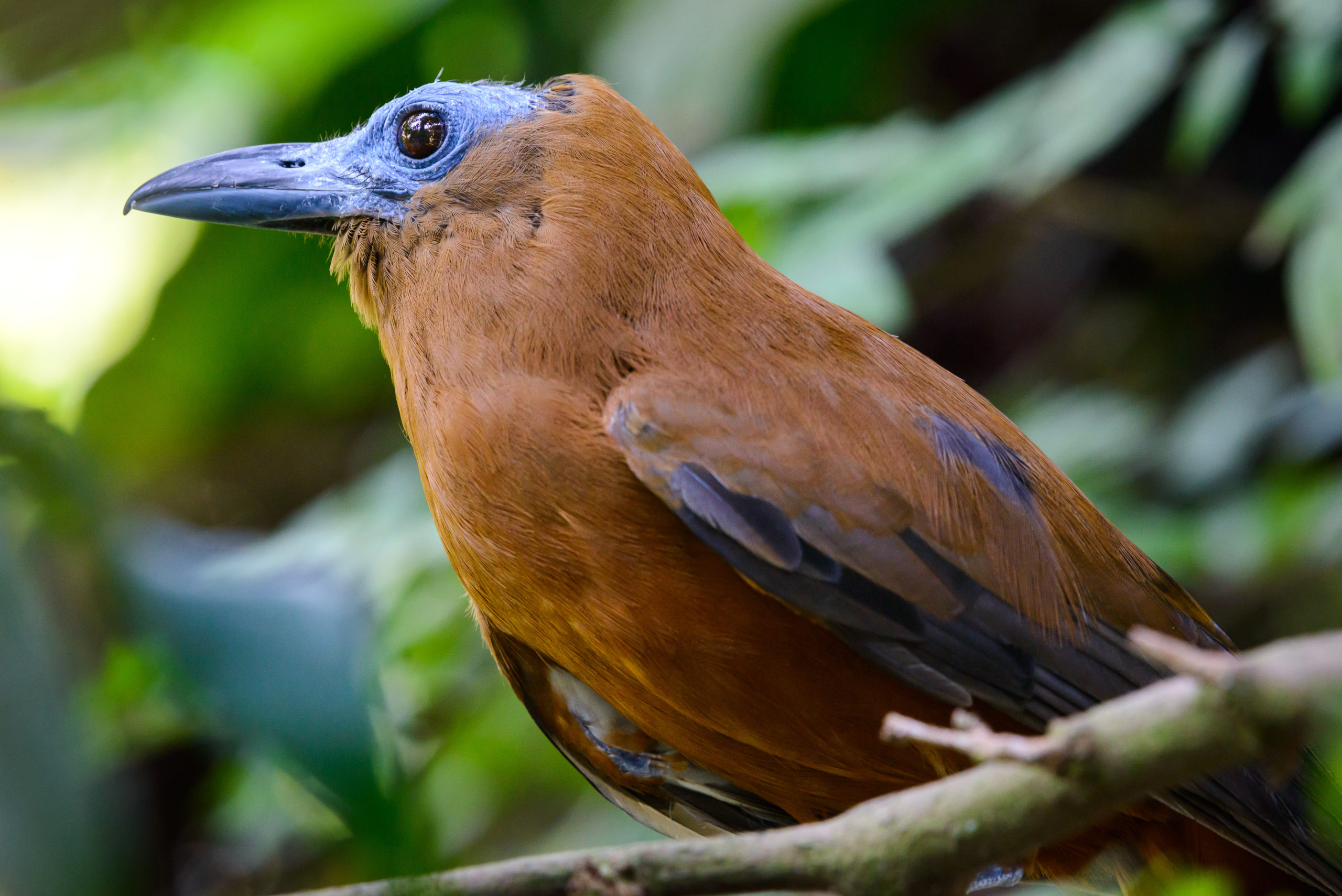 Guyana travel offers opportunities to see Capuchinbird and other species