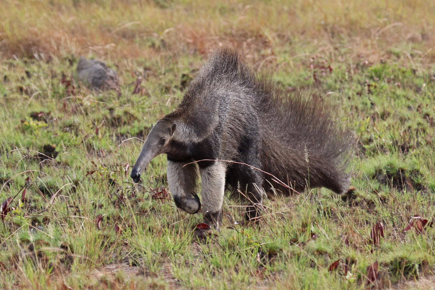 Guyana travel offers great opportunities to see Giant Anteater