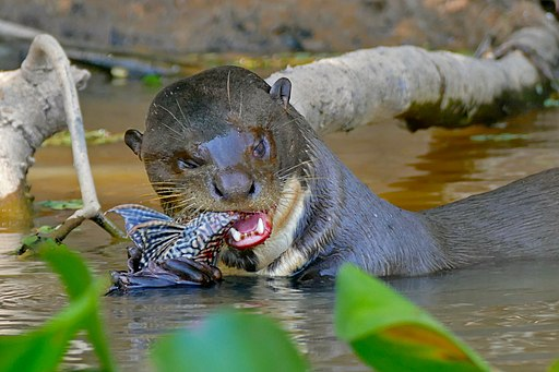 Guyana travel offers opportunties to see Giant River otters