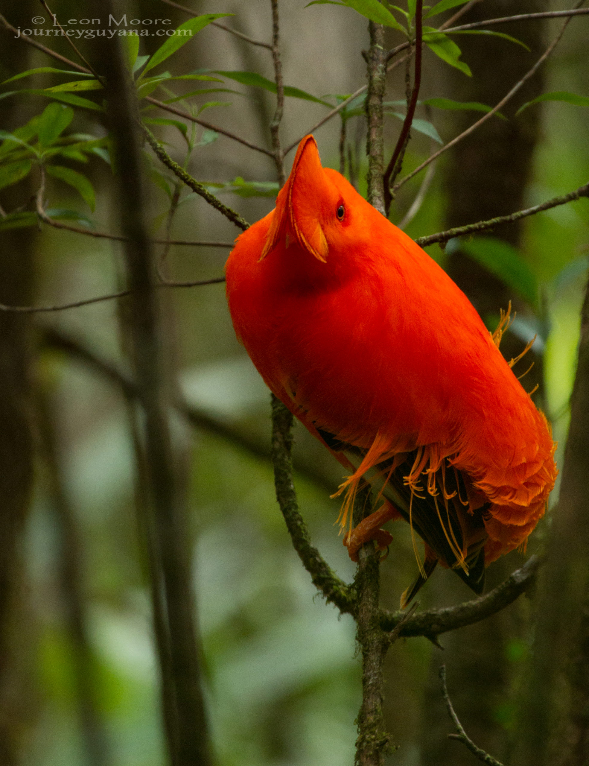Guyana Birding offers opportuntiies to see the Guianan Cock of the Rock