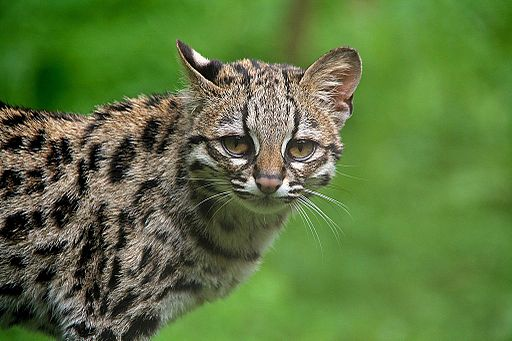 Guyana travel offers looks at Margay