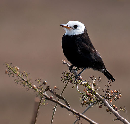 Guyana travel offers opportunities to see White-headed Marsh Tyrant