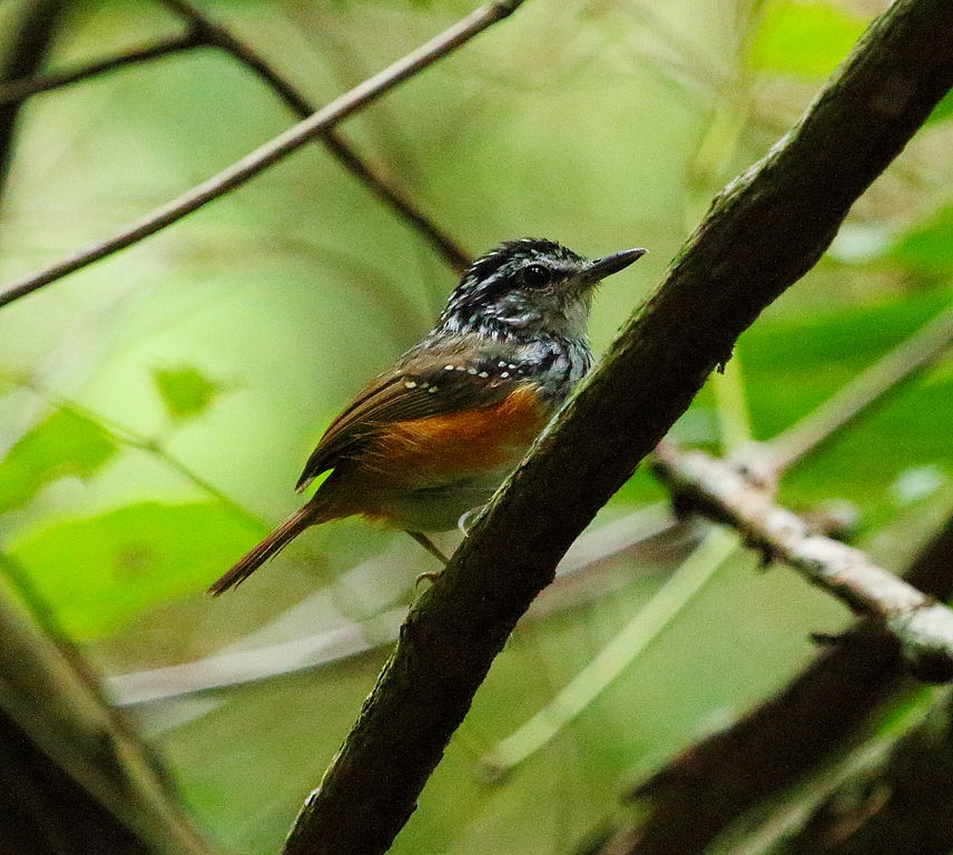 Guyana travel offers the opportunity to see Guianan Antbird